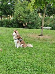 husky sucht neues zuhause