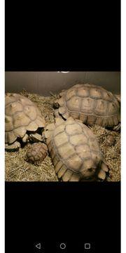 Spornschildkröten sulcatas