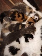 Kitten Katzenbabys Maine Coon Mix