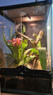 Caribena versicolor inkl terrarium