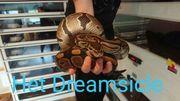 königspython het dreamsicle 0 1