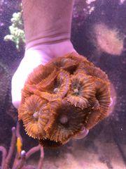Meerwasser Rhodactis sp orange grün