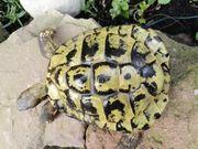 Verschiedene griechische Landschildkröten Männchen abzugeben