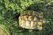 5 - jährige Griechische Landschildkröte