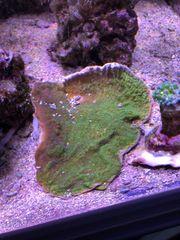 Meerwasser Montipora Platte grün