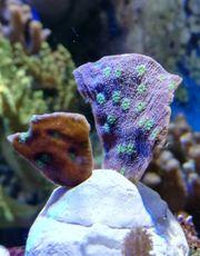 Meerwasser Echinopora Lamelossa lps Steinkoralle