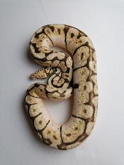 Königspython - Python regius 1 0