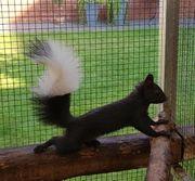 Eichhörnchen Bock von 6 21