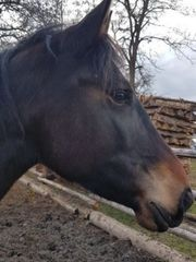 Hübsche Warmblut Stute Pferd Pony
