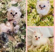 Knuffige Ragdoll BLH Kitten Katzenbabys