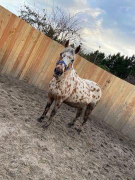 Pferde - Hübscher Wallach