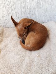Suche Chihuahua-Mädchen