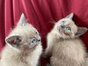 BKH Kitten weiblich sofort abgabebereit