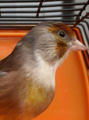Stieglitz x Kanarienvogel Mischling Hahn