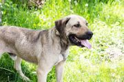 CHRISSY - Mastiff Mix - Er ist
