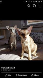 Katzen orientalisch