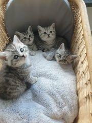 Reinrassige BKH Kitten Black Silver