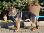 Temperamentvolle Deutsche Schäferhund Welpen