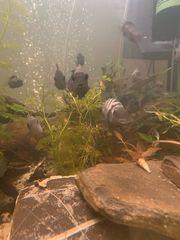 Zebrabuntbarsche
