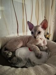 canadian Sphynx Kitten weiblich