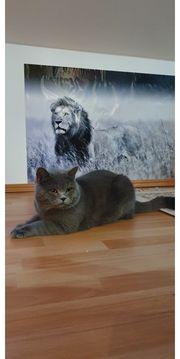 Deckkater BKH Britischkurzhaar kitten