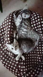 4 wunderschöne Ocicat kitten