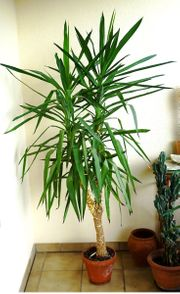 schoengewachsene Yuccapalme 2-astig 2 m