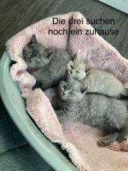 noch 3 Bkh kitten zu