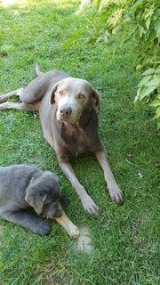 Labrador Welpen mit Papiere Abgabebereit