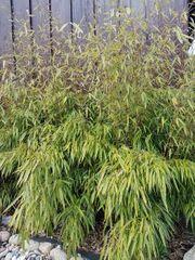 Bambus Fargesia muireale Schirmbambus