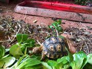 Pantherschildkröten Babies Pardalis Babcocki Nachzucht