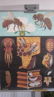 Alte Schulwandkarte Honigbiene