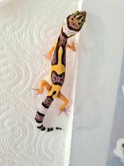 Electric Tangerine cross Leopardgecko