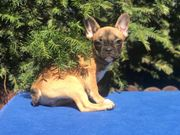 Französische Bulldoggen bluefawn redfawn und