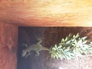 Verkaufe 0 2 Iguana iguana