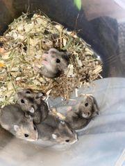 Verkaufe Baby Hamster