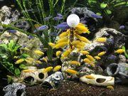 Labidochromis Yellows