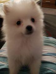 Pomeranian Hündin Welpe in gute
