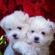 Malteser In Rohr Hunde Kaufen Verkaufen Auf Quoka De
