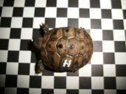 Griechische Landschildkrötenbabies von 2015 und