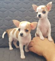 Chihuahua Welpen kurzhaar reinrassig