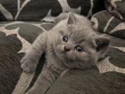 BKH SF Kitten nur noch