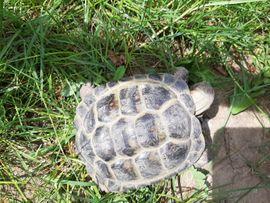 Bild 4 - Russische Vierzehen Landschildkröte - Gräfenhainichen
