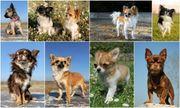 suche Chihuahua Hündin bis 1
