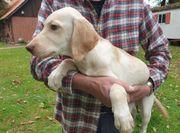 Zwei Labrador-Mix Junghunde