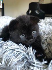 Scotischfold babykatzen