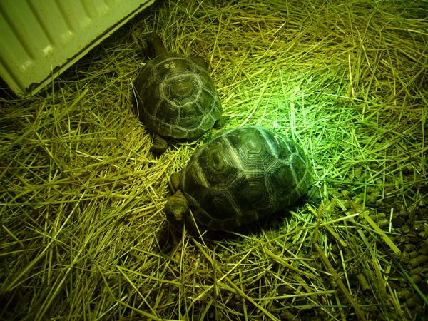 Seychellen Riesenschildkröten Aldabra Aldabrachelys gigantea