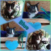 Baby Kater Kitten Blue geimpft
