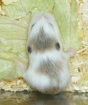 Junge Roborowski Zwerghamster Hamster