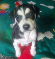 JACK RUSSELL TERRIER mit CHIP